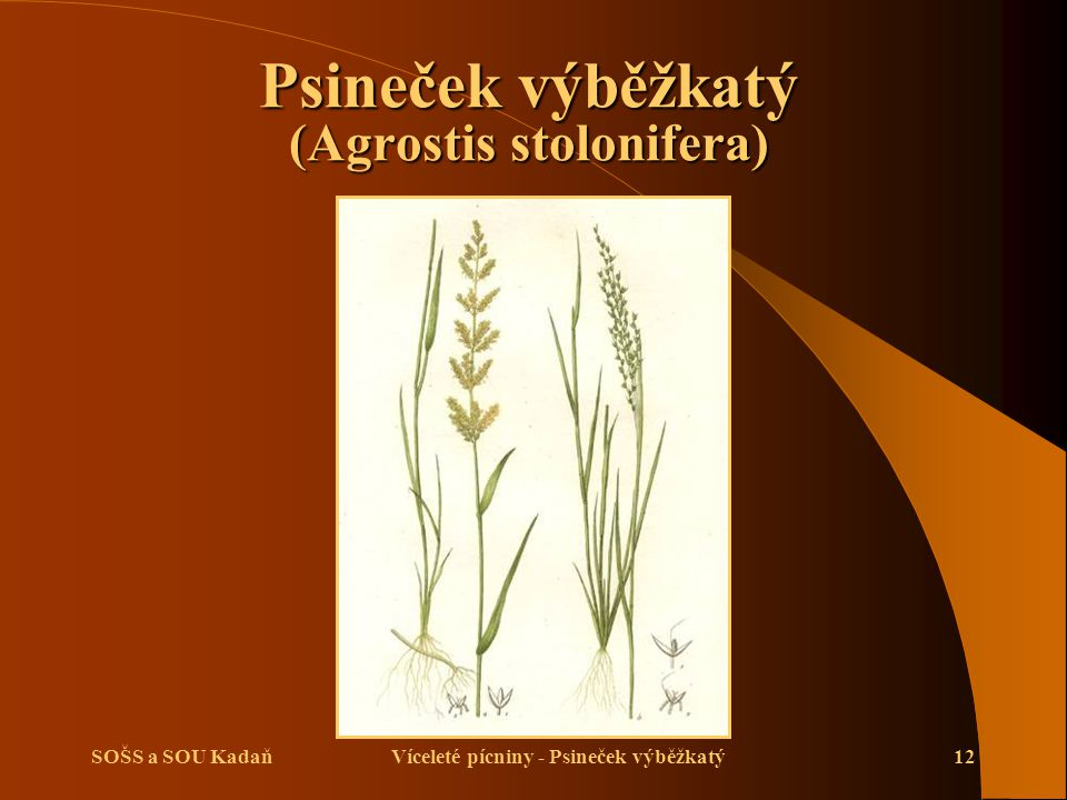 SOŠS a SOU KadaňVíceleté pícniny - Psineček výběžkatý12 Psineček výběžkatý (Agrostis stolonifera)