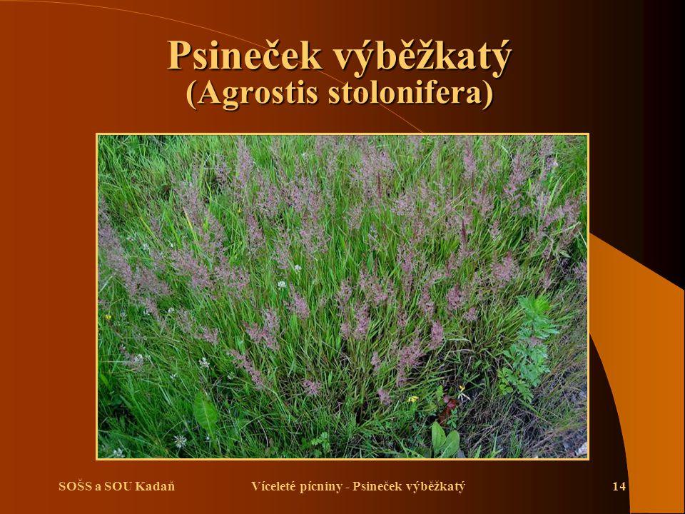 SOŠS a SOU KadaňVíceleté pícniny - Psineček výběžkatý14 Psineček výběžkatý (Agrostis stolonifera)