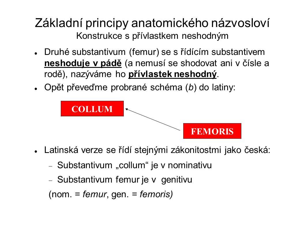 Základní principy anatomického názvosloví Konstrukce s přívlastkem neshodným Druhé substantivum (femur) se s řídícím substantivem neshoduje v pádě (a