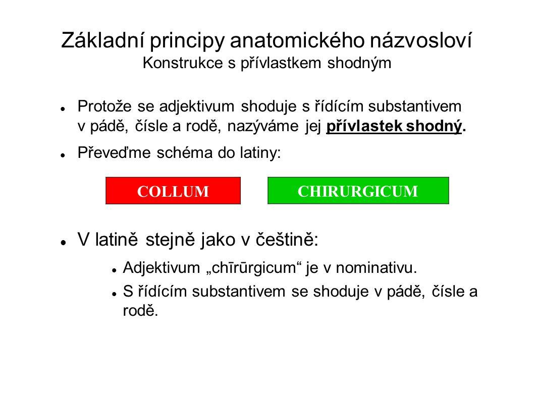 Základní principy anatomického názvosloví Konstrukce s přívlastkem shodným Protože se adjektivum shoduje s řídícím substantivem v pádě, čísle a rodě,