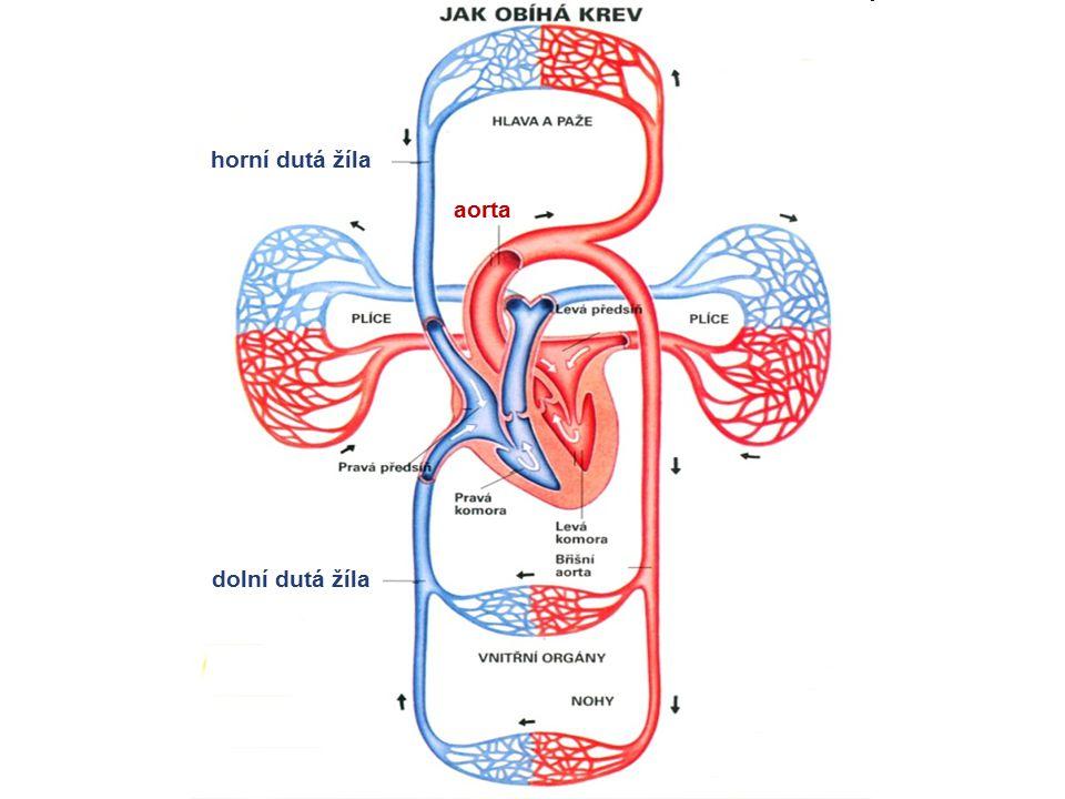 horní dutá žíla dolní dutá žíla aorta