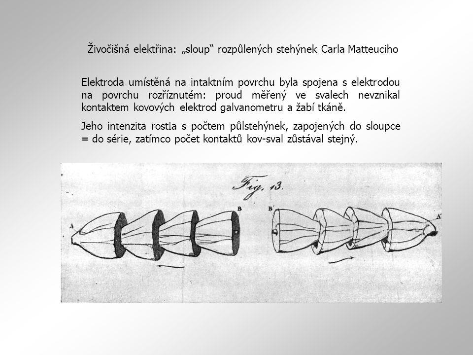 """Živočišná elektřina: """"sloup"""" rozpůlených stehýnek Carla Matteuciho Elektroda umístěná na intaktním povrchu byla spojena s elektrodou na povrchu rozříz"""