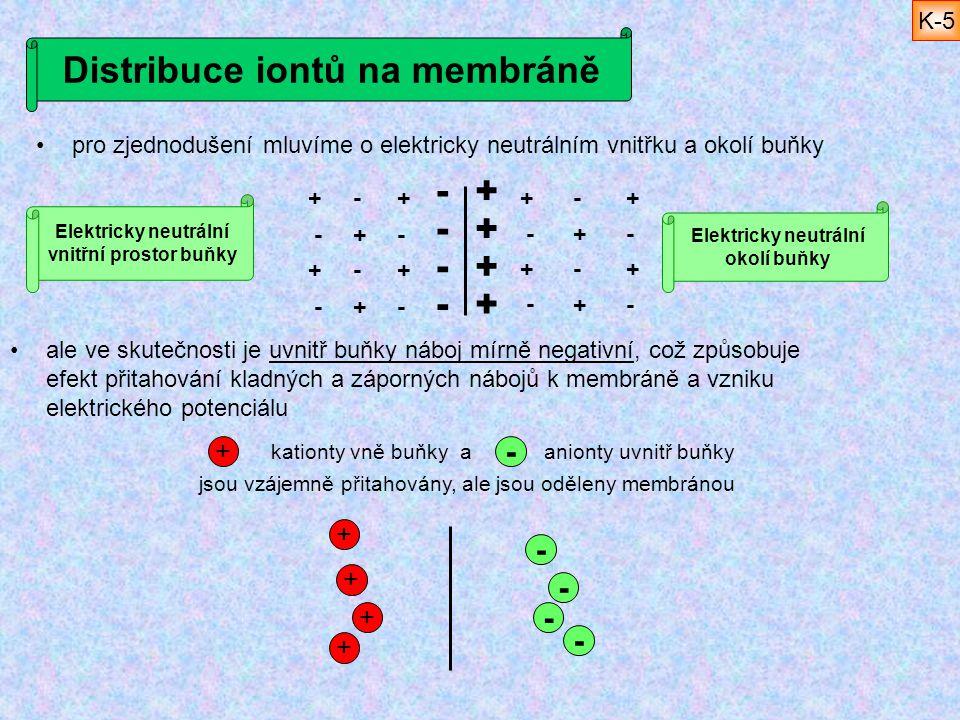 Distribuce iontů na membráně pro zjednodušení mluvíme o elektricky neutrálním vnitřku a okolí buňky ale ve skutečnosti je uvnitř buňky náboj mírně neg