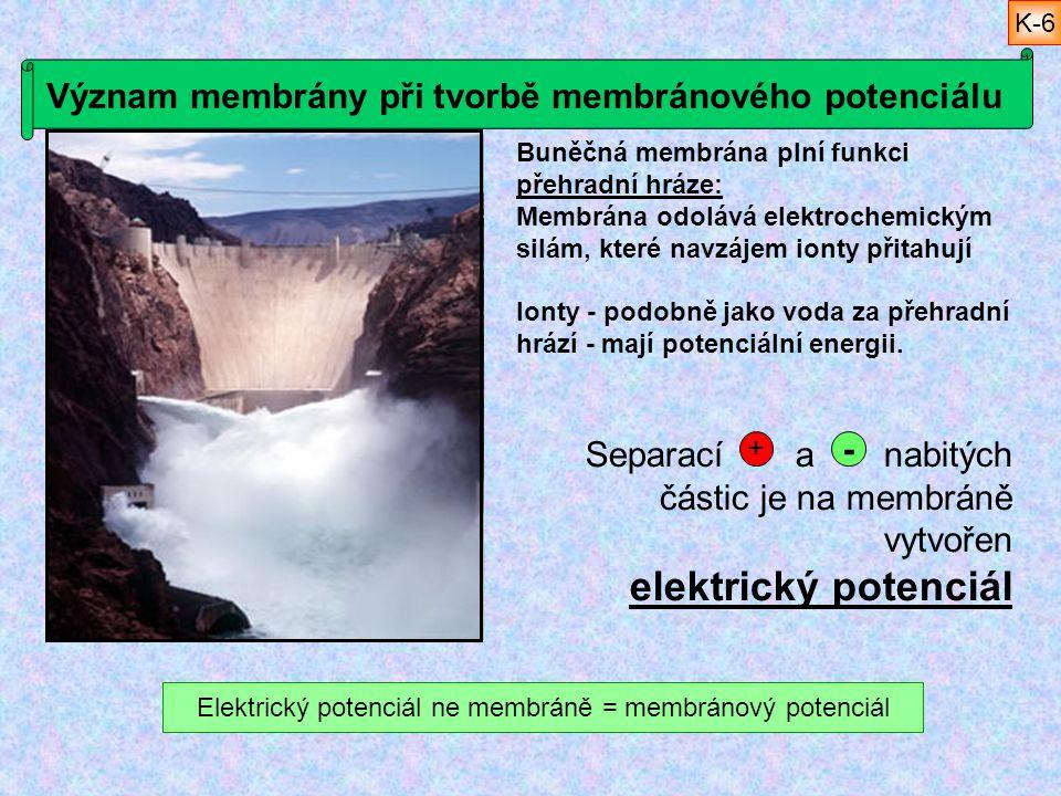 Význam membrány při tvorbě membránového potenciálu Buněčná membrána plní funkci přehradní hráze: Membrána odolává elektrochemickým silám, které navzáj