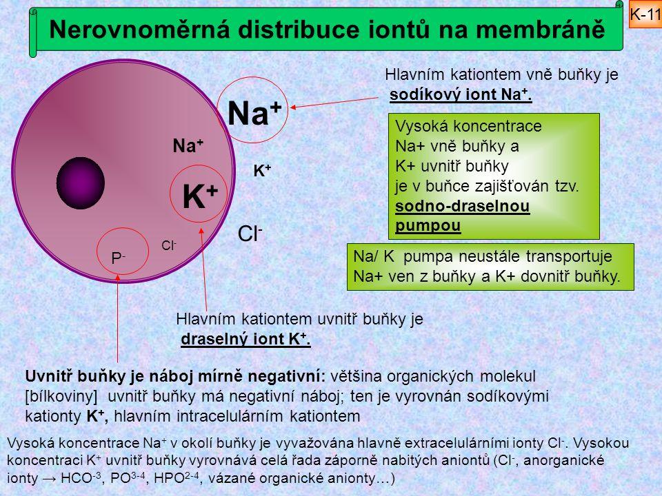 Nerovnoměrná distribuce iontů na membráně Vysoká koncentrace Na + v okolí buňky je vyvažována hlavně extracelulárními ionty Cl -. Vysokou koncentraci