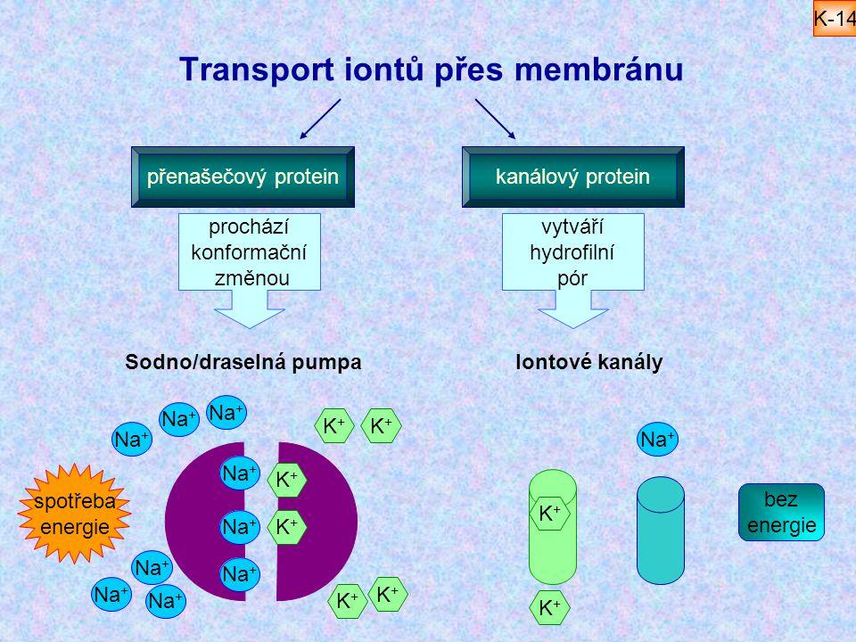 K+K+ Na + Transport iontů přes membránu přenašečový proteinkanálový protein prochází konformační změnou vytváří hydrofilní pór Na + K+K+ Iontové kanál
