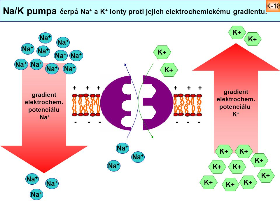 Na/K pumpa čerpá Na + a K + ionty proti jejich elektrochemickému gradientu. K+ Na + ++++++ ------ K+ gradient elektrochem. potenciálu Na + gradient el