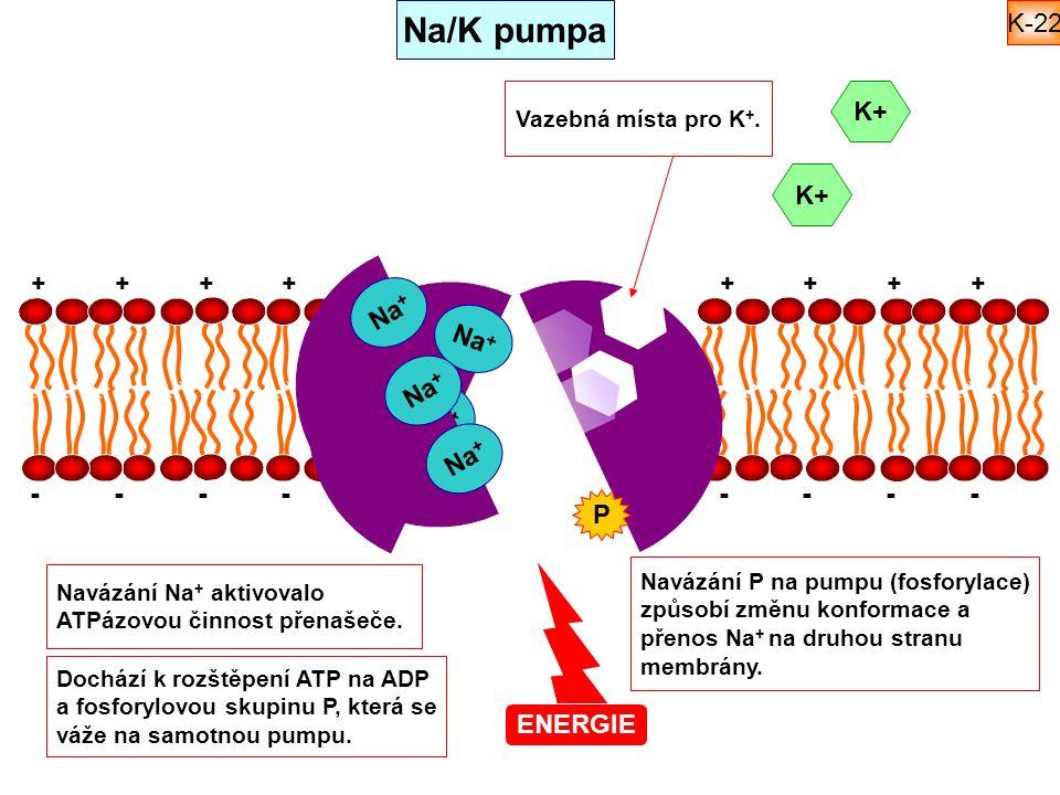 ++++++++ -------- Na + ENERGIE K+ Na + Na/K pumpa Navázání Na + aktivovalo ATPázovou činnost přenašeče. Dochází k rozštěpení ATP na ADP a fosforylovou