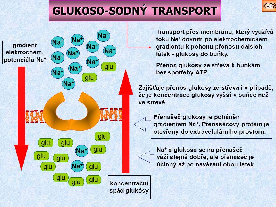 GLUKOSO-SODNÝ TRANSPORT Na + glu koncentrační spád glukósy gradient elektrochem. potenciálu Na + Na + glu Na + glu Transport přes membránu, který využ