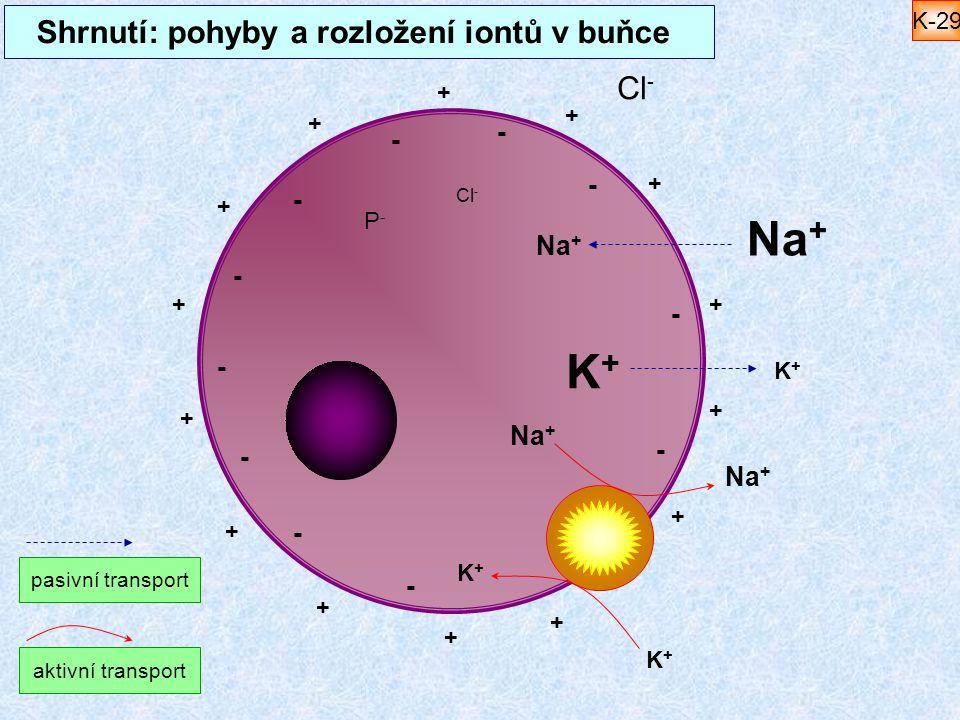 Shrnutí: pohyby a rozložení iontů v buňce Na + K+K+ K+K+ Cl - P-P- Na + K+K+ K+K+ + + + + + + + + + + + + + + - - - - - - - - - - - pasivní transport