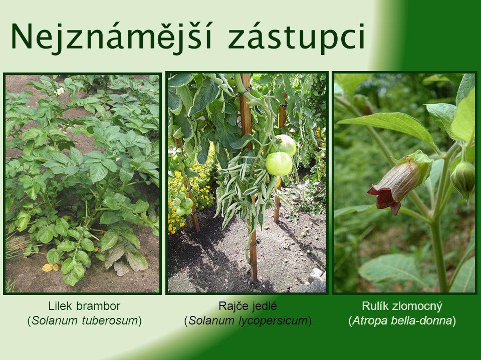 Tabák virginský (Nicotiana tabacum) Durman obecný (Datura stramonium) Mandragora lékařská (Mandragora officinarum) Nejznám ě jší zástupci