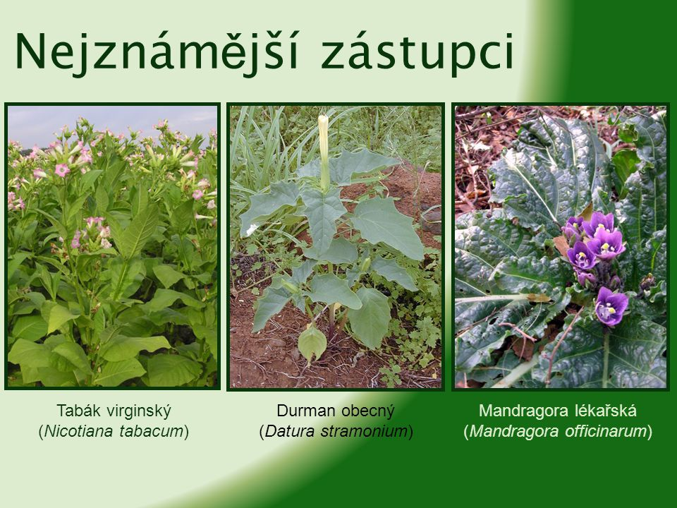 Lilek brambor (Solanum tuberosum) bylina, kolem jednoho metru vysoká má hranatou, bohatě rozvětvenou lodyhu listy jsou lichozpeřené, řapíkaté, až 50 centimetrů dlouhé bílé, fialové či růžové květy se sytě žlutými prašníky plodem je 2 – 4 cm velká bobule, obsahuje bílá semena kromě podzemních hlíz je celá rostlina jedovatá pěstuje se jako důležitá zemědělská plodina téměř po celém světě