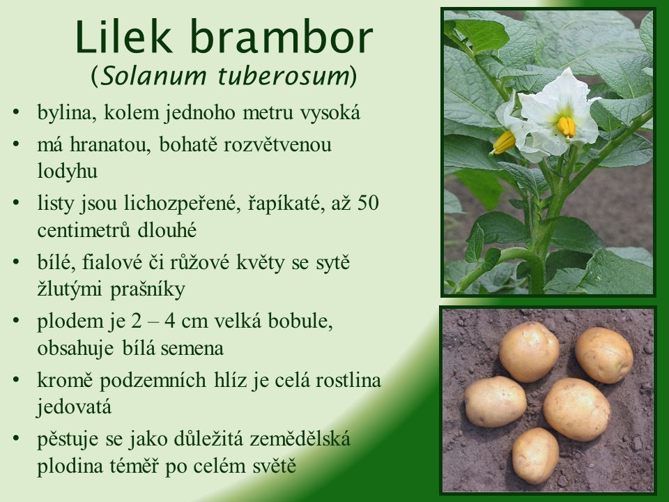 Raj č e jedlé (Solanum lycopersicum) vytrvalá bylina, u nás pěstovaná jako jednoletka, protože nepřečká zimu pochází ze Střední a Jižní Ameriky patří mezi ovoce, ačkoli Nejvyšší soud Spojených států vynesl verdikt, že rajče je zelenina zelené části rostliny jsou mírně jedovaté plodem je bobule (rajské jablko) plod je obvykle červený, existují ale i fialové, žluté či bílé
