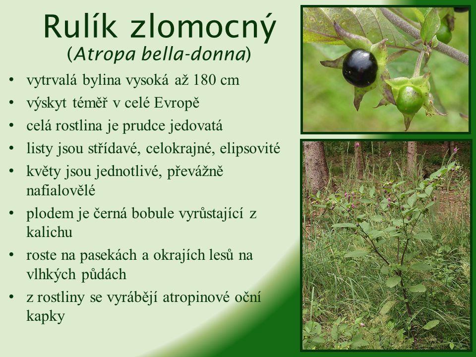 Tabák virginský (Nicotiana tabacum) jedno- i víceletá bylina vysoká až dva metry původ v Jižní Americe, do Evropy zavezen v polovině 16.