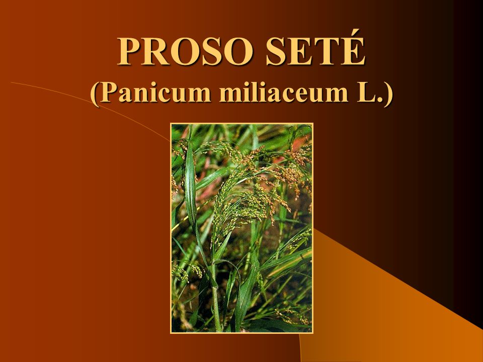PROSO SETÉ (Panicum miliaceum L.)