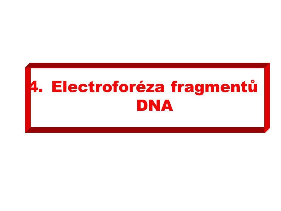 4.Electroforéza fragmentů DNA