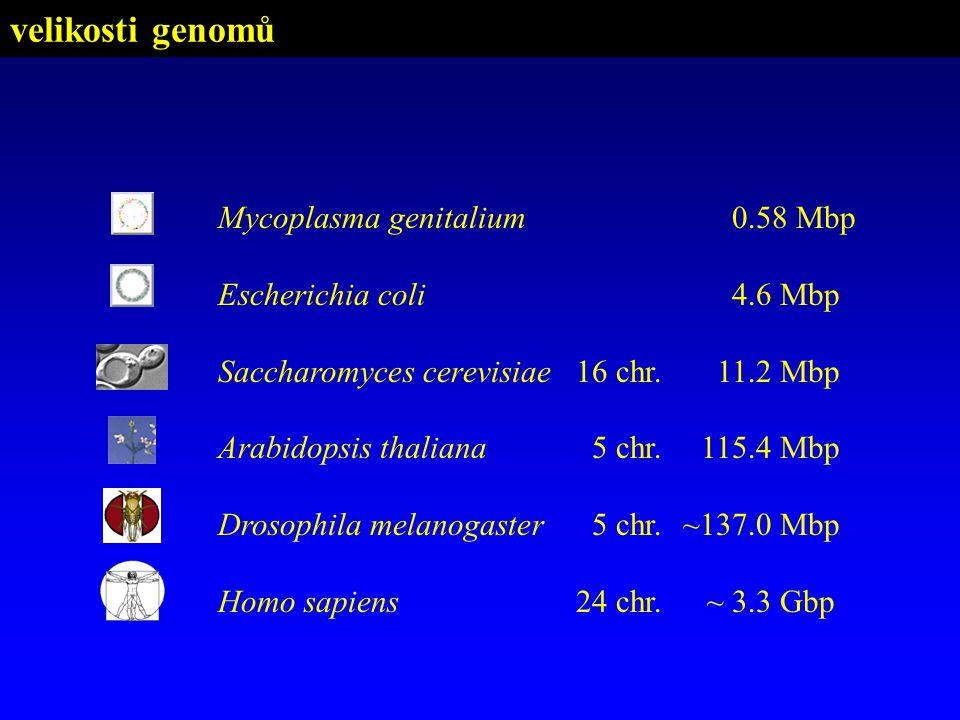 velikosti genomů Mycoplasma genitalium0.58 Mbp Escherichia coli4.6 Mbp Saccharomyces cerevisiae16 chr.11.2 Mbp Arabidopsis thaliana5 chr.115.4 Mbp Dro