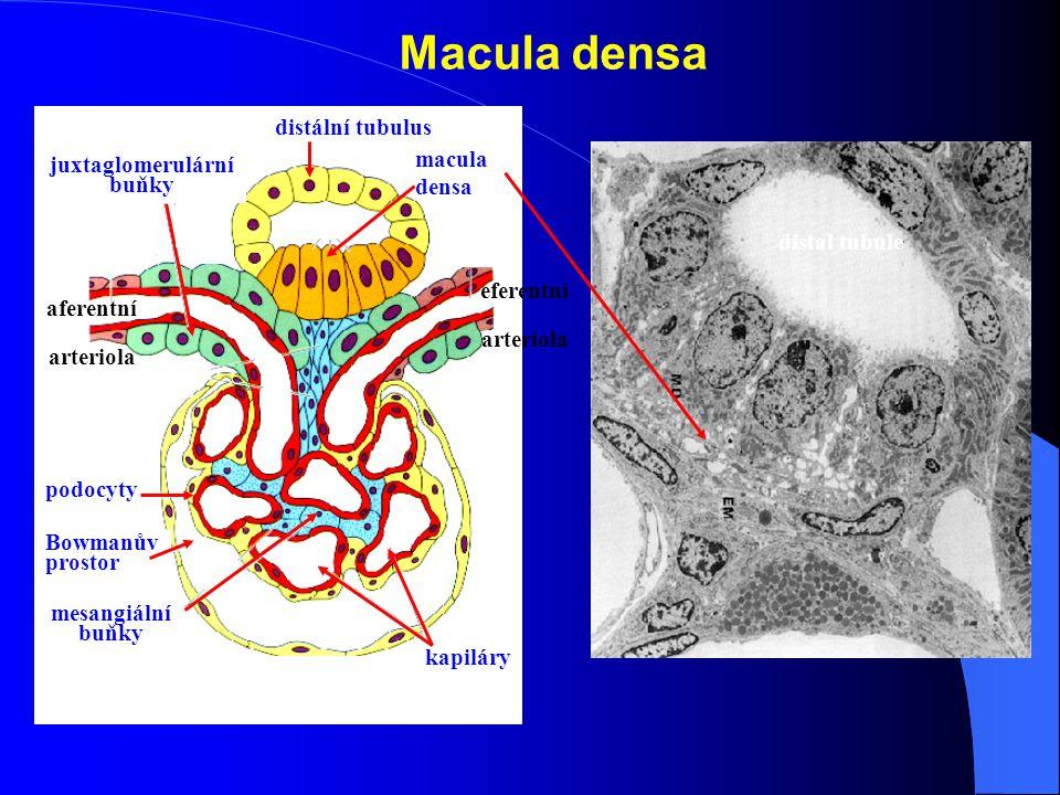 Macula densa podocyty Bowmanův prostor juxtaglomerulární buňky kapiláry mesangiální buňky aferentní arteriola eferentní arteriola distální tubulus macula densa distal tubule