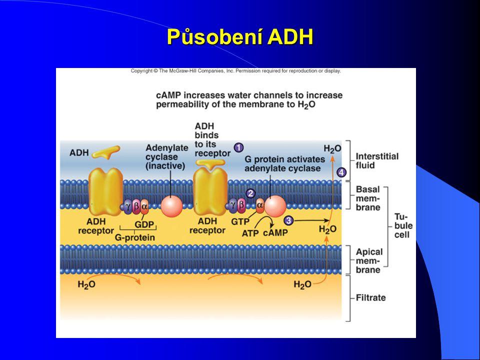 Působení ADH