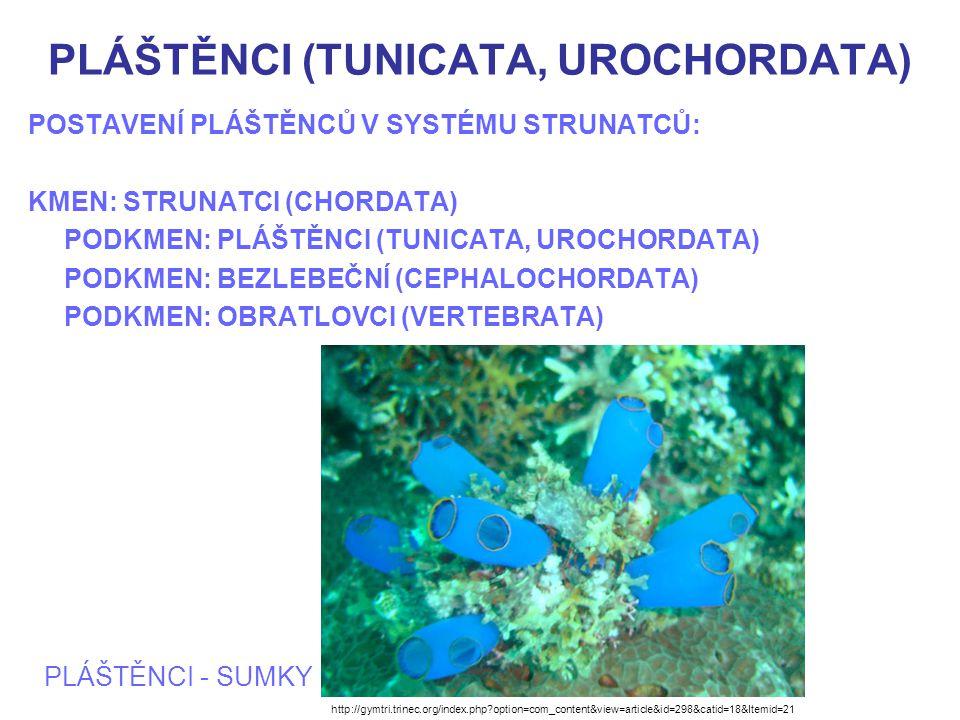 PLÁŠTĚNCI (TUNICATA, UROCHORDATA) CHARAKTERISTIKA PLÁŠTĚNCŮ Mořští živočichové Mají volně plovoucí larvy odpovídající svou stavbou základní charkteristice strunatců Dospělci volně pohybliví nebo přisedlí Mají často stavbu těla zjednodušenou Velikost pláštěnců je 0,3mm - 30 cm, někdy však tvoří až několik m dlouhé kolonie Asi 2000 druhů Kolonie sumky Symplegma rubra http://www.biolib.cz/cz/taxonimage/id26475/?taxonid=15055&type=1
