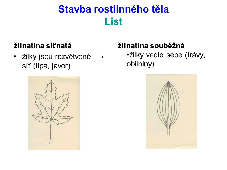 Stavba rostlinného těla List žilnatina síťnatá žilky jsou rozvětvené → síť (lípa, javor) žilnatina souběžná žilky vedle sebe (trávy, obilniny)