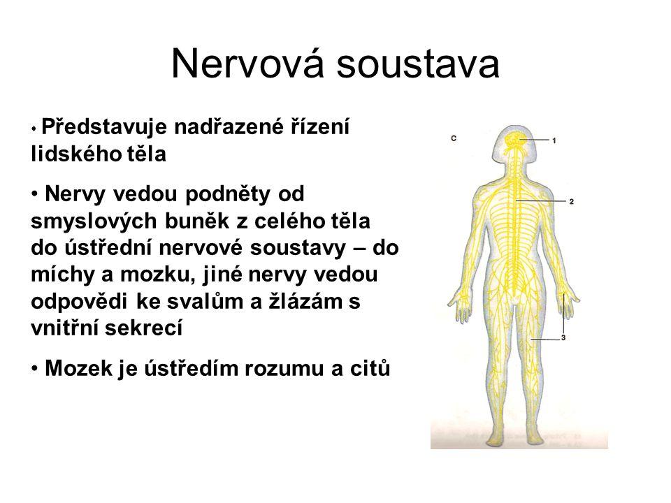 Nervová soustava Představuje nadřazené řízení lidského těla Nervy vedou podněty od smyslových buněk z celého těla do ústřední nervové soustavy – do mí