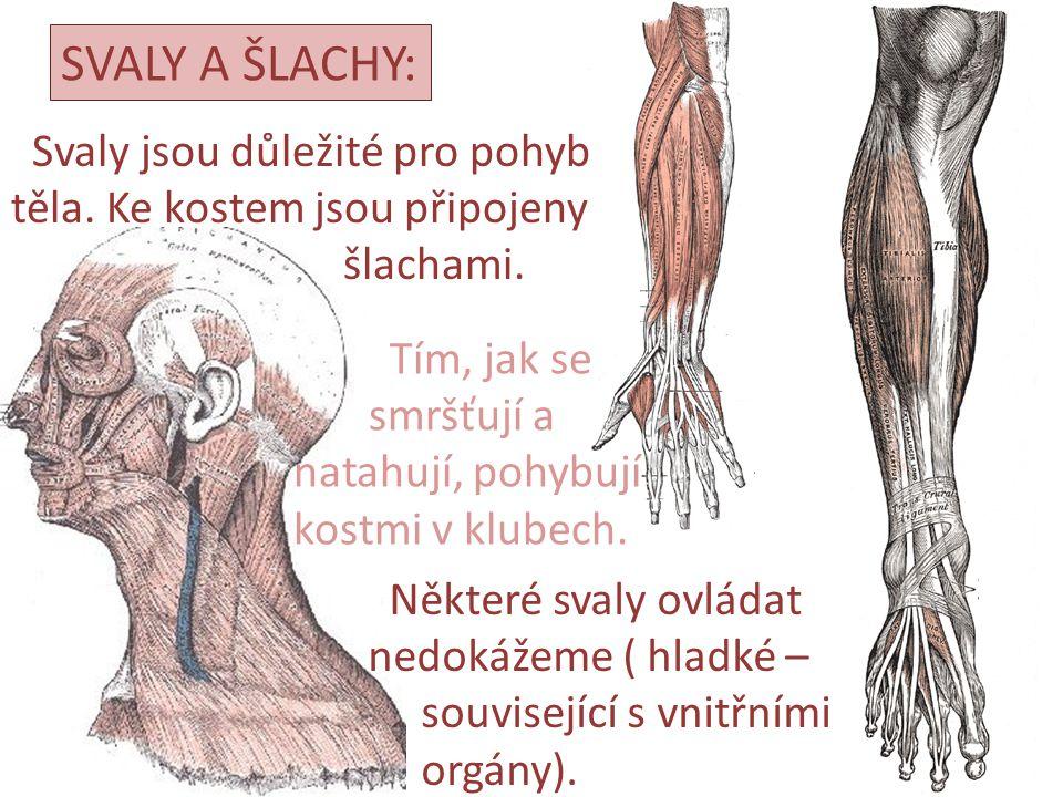 SVALY A ŠLACHY: Svaly jsou důležité pro pohyb těla. Ke kostem jsou připojeny šlachami. Tím, jak se smršťují a natahují, pohybují kostmi v klubech. Něk
