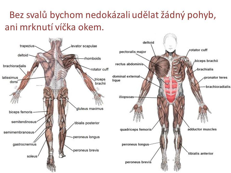 Bez svalů bychom nedokázali udělat žádný pohyb, ani mrknutí víčka okem.