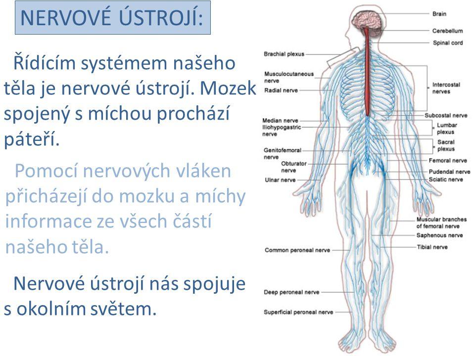 NERVOVÉ ÚSTROJÍ: Řídícím systémem našeho těla je nervové ústrojí. Mozek spojený s míchou prochází páteří. Pomocí nervových vláken přicházejí do mozku
