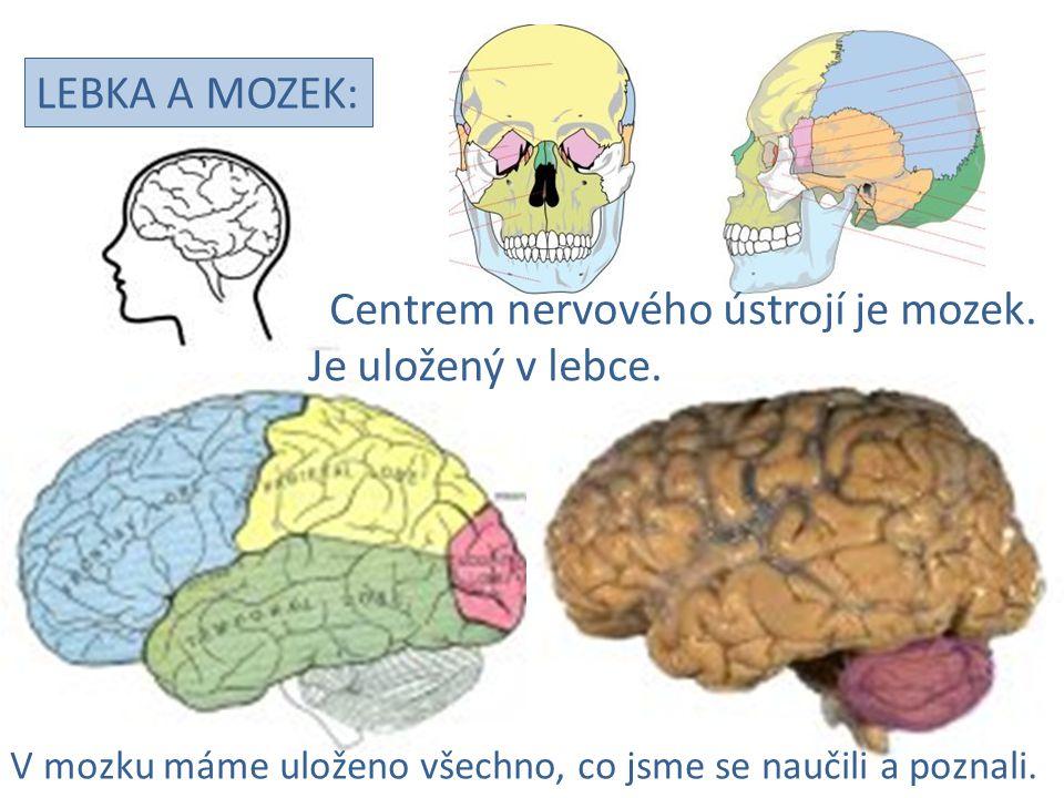 LEBKA A MOZEK: Centrem nervového ústrojí je mozek. Je uložený v lebce. V mozku máme uloženo všechno, co jsme se naučili a poznali.