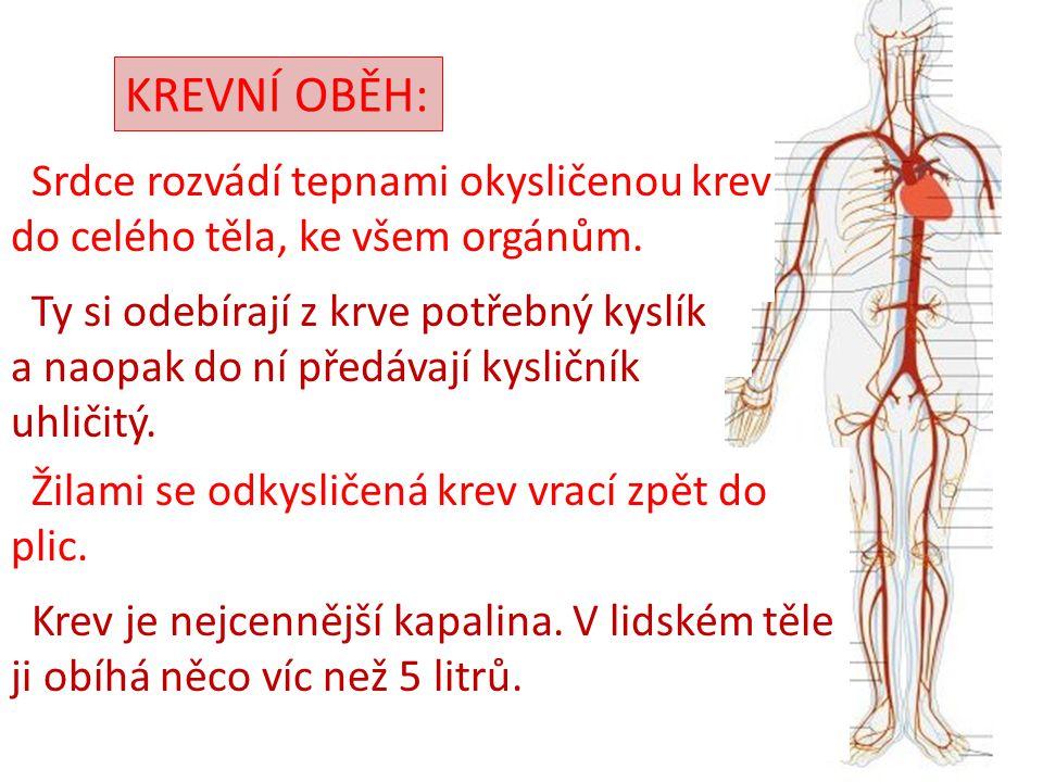 KREVNÍ OBĚH: Srdce rozvádí tepnami okysličenou krev do celého těla, ke všem orgánům. Ty si odebírají z krve potřebný kyslík a naopak do ní předávají k