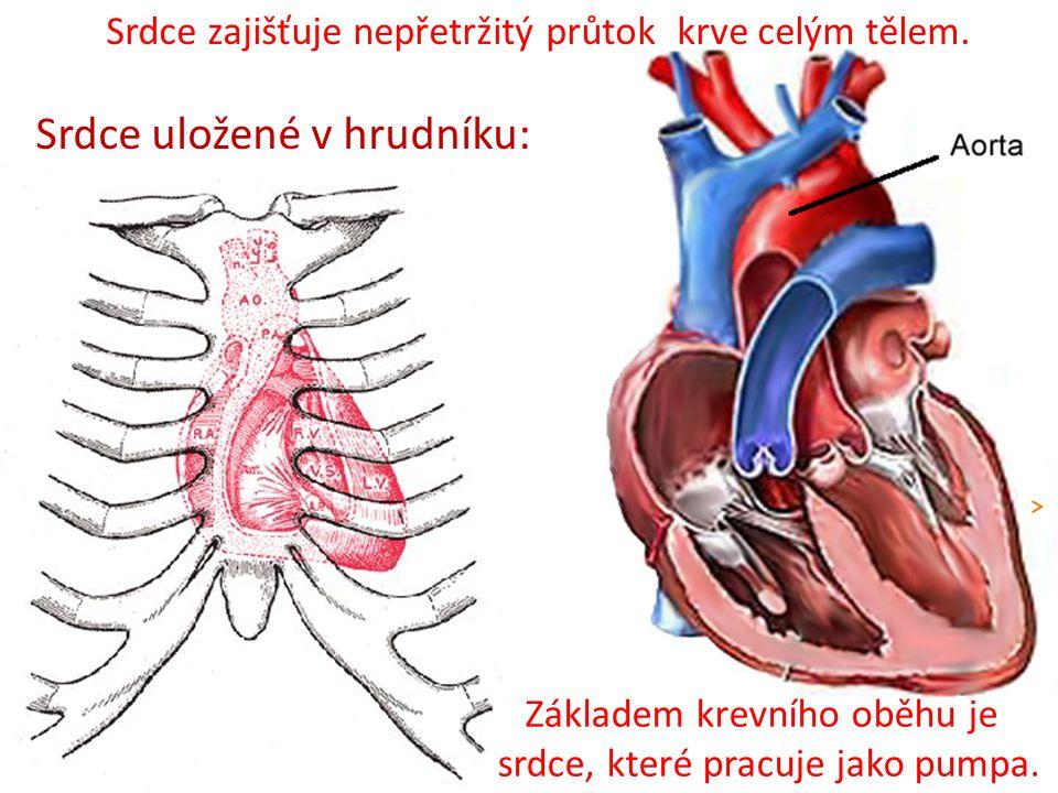 Srdce uložené v hrudníku: Základem krevního oběhu je srdce, které pracuje jako pumpa. Srdce zajišťuje nepřetržitý průtok krve celým tělem.