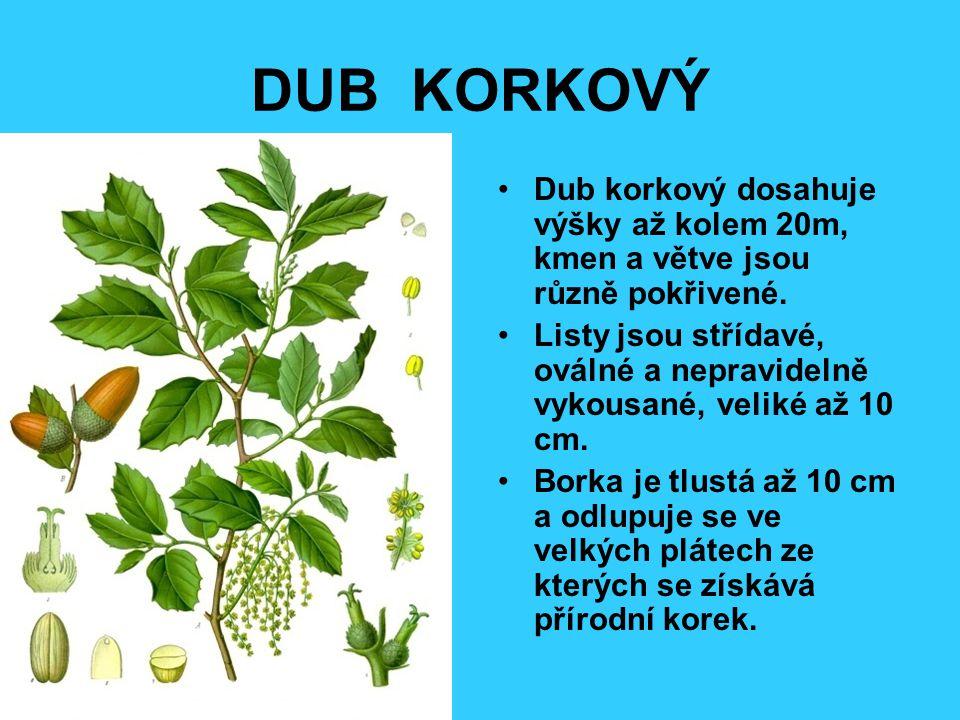 DUB KORKOVÝ Dub korkový dosahuje výšky až kolem 20m, kmen a větve jsou různě pokřivené.