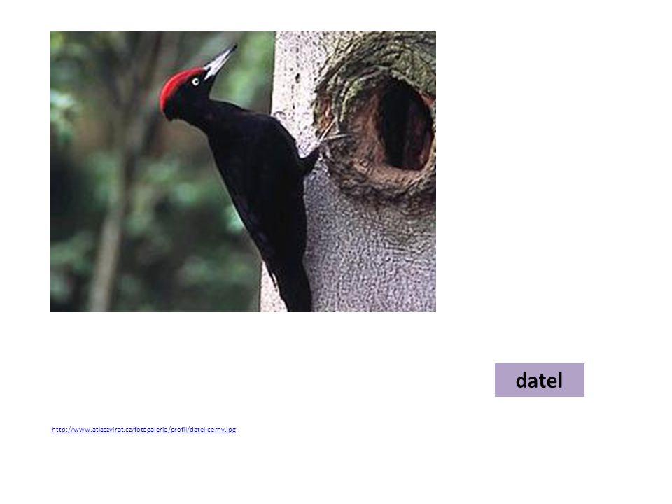 datel http://www.atlaszvirat.cz/fotogalerie/profil/datel-cerny.jpg