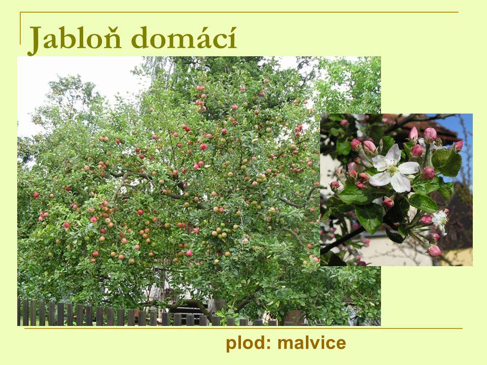 Jabloň domácí plod: malvice