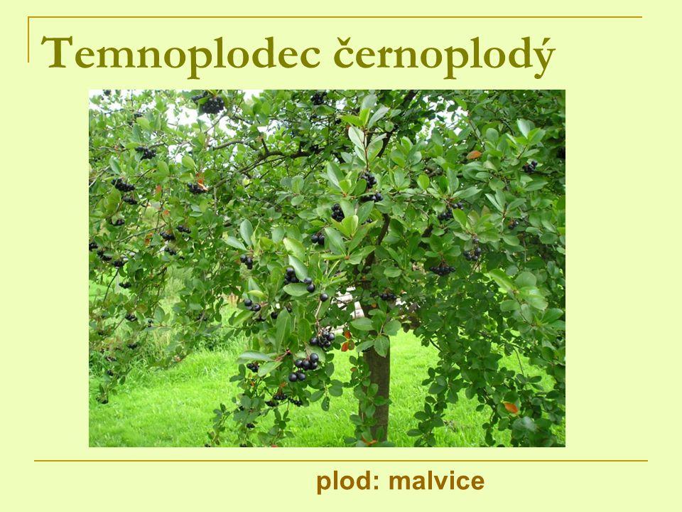 Temnoplodec černoplodý plod: malvice