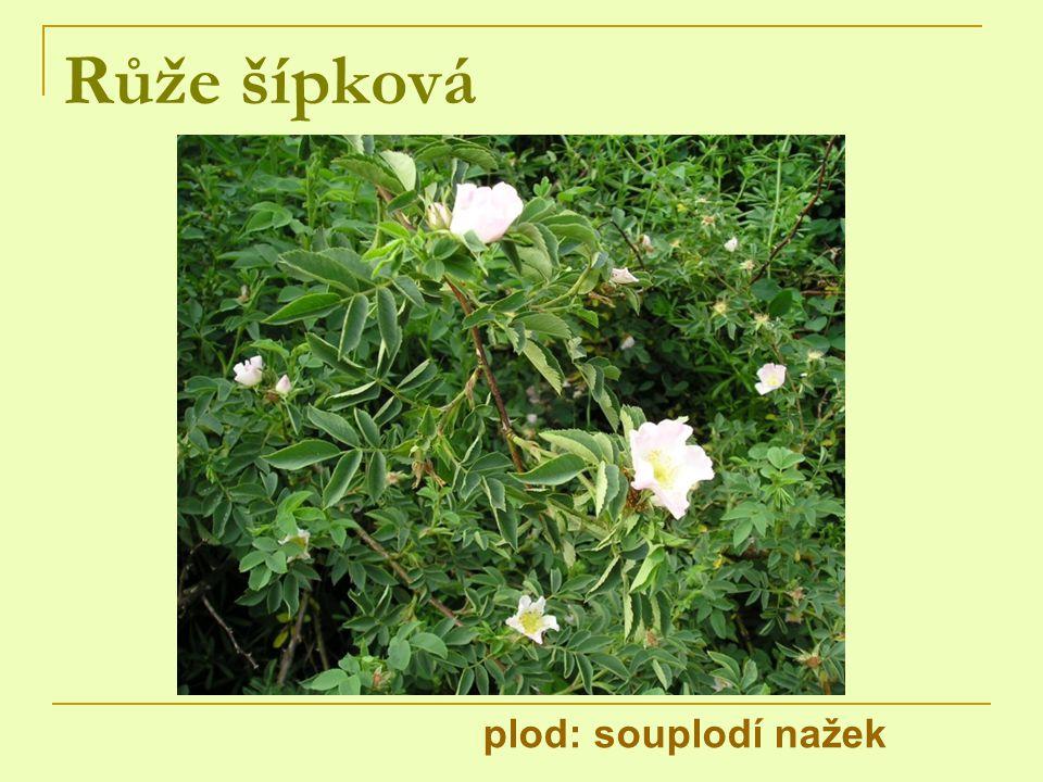 Růže šípková plod: souplodí nažek