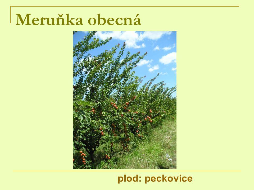 Meruňka obecná plod: peckovice