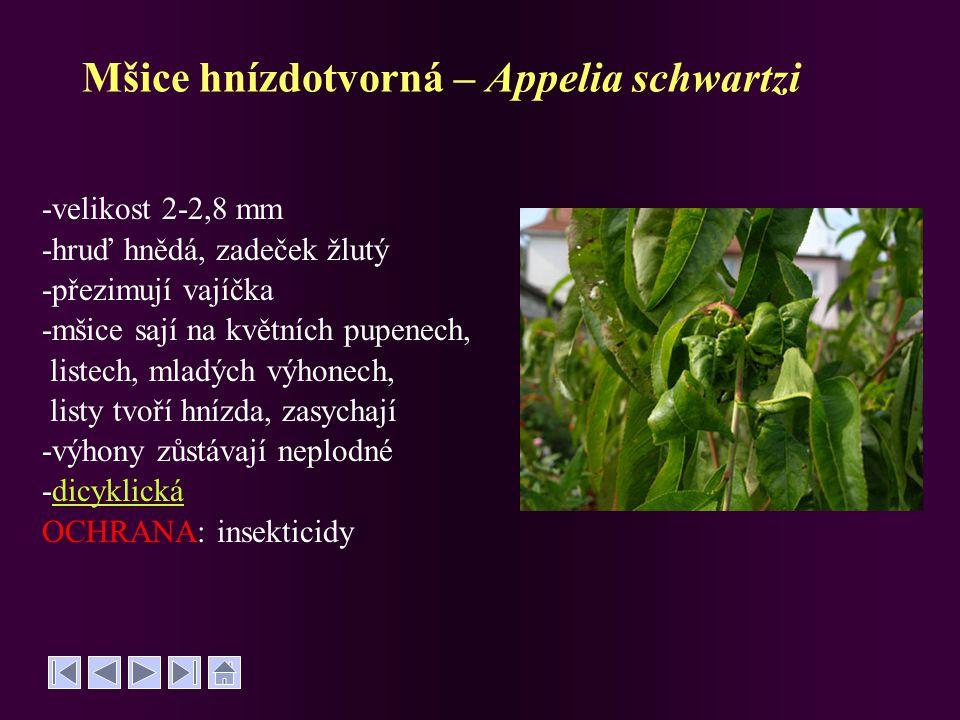 Mšice hnízdotvorná – Appelia schwartzi -velikost 2-2,8 mm -hruď hnědá, zadeček žlutý -přezimují vajíčka -mšice sají na květních pupenech, listech, mla
