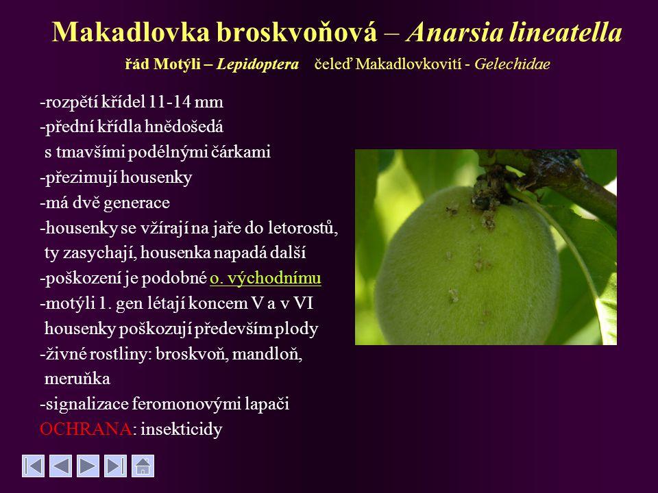 Makadlovka broskvoňová – Anarsia lineatella řád Motýli – Lepidoptera čeleď Makadlovkovití - Gelechidae -rozpětí křídel 11-14 mm -přední křídla hnědoše