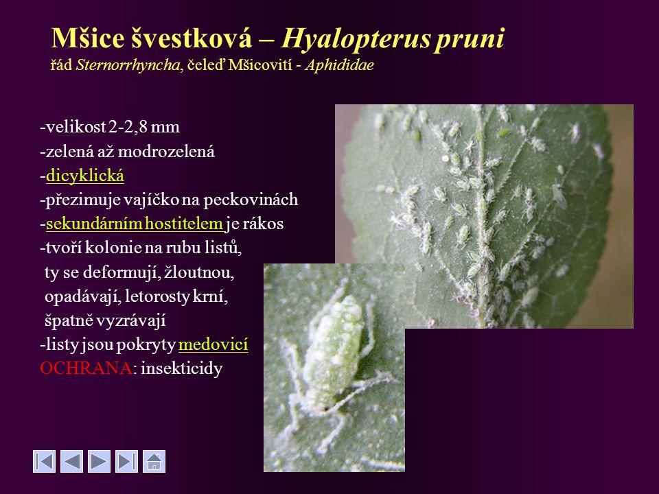 Mšice švestková – Hyalopterus pruni řád Sternorrhyncha, čeleď Mšicovití - Aphididae -velikost 2-2,8 mm -zelená až modrozelená -dicyklickádicyklická -p
