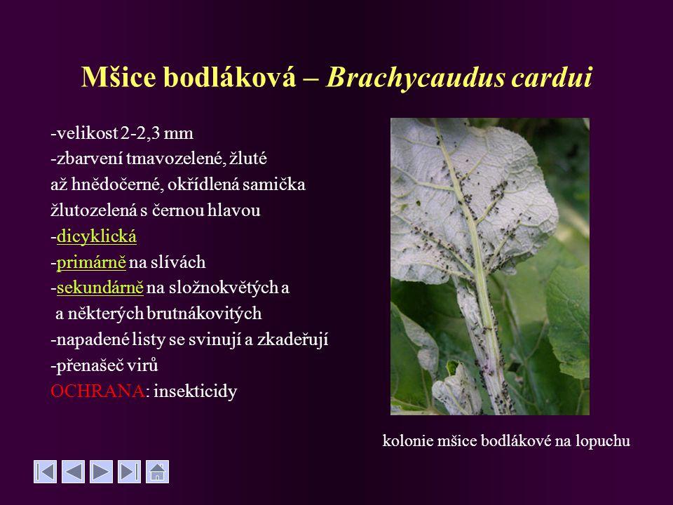 Mšice bodláková – Brachycaudus cardui -velikost 2-2,3 mm -zbarvení tmavozelené, žluté až hnědočerné, okřídlená samička žlutozelená s černou hlavou -di