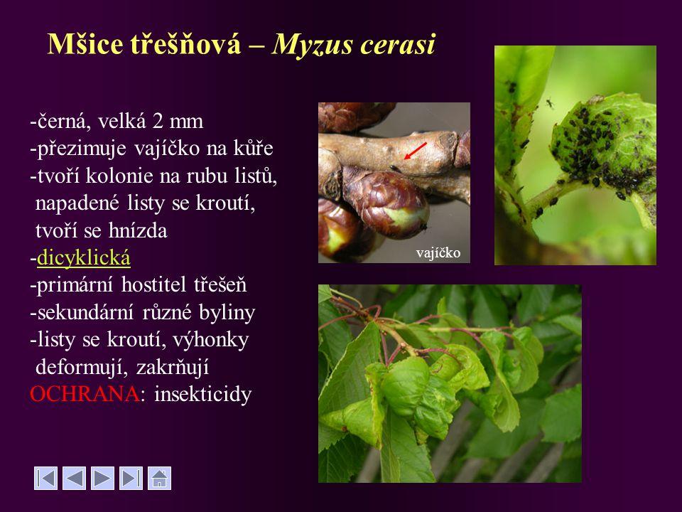 Mšice třešňová – Myzus cerasi -černá, velká 2 mm -přezimuje vajíčko na kůře -tvoří kolonie na rubu listů, napadené listy se kroutí, tvoří se hnízda -d