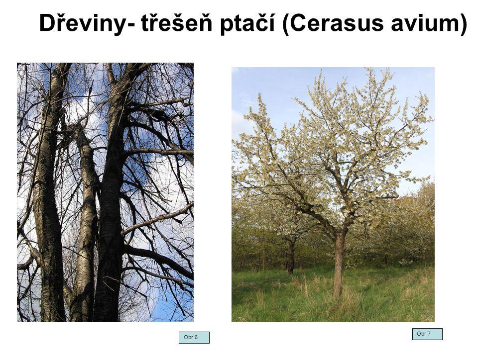 Dřeviny- třešeň ptačí (Cerasus avium) Obr.6 Obr.7