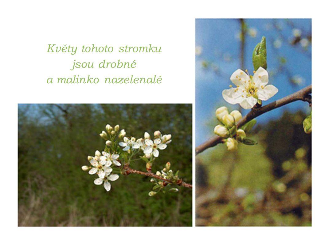 Květy tohoto stromku jsou drobné a malinko nazelenalé