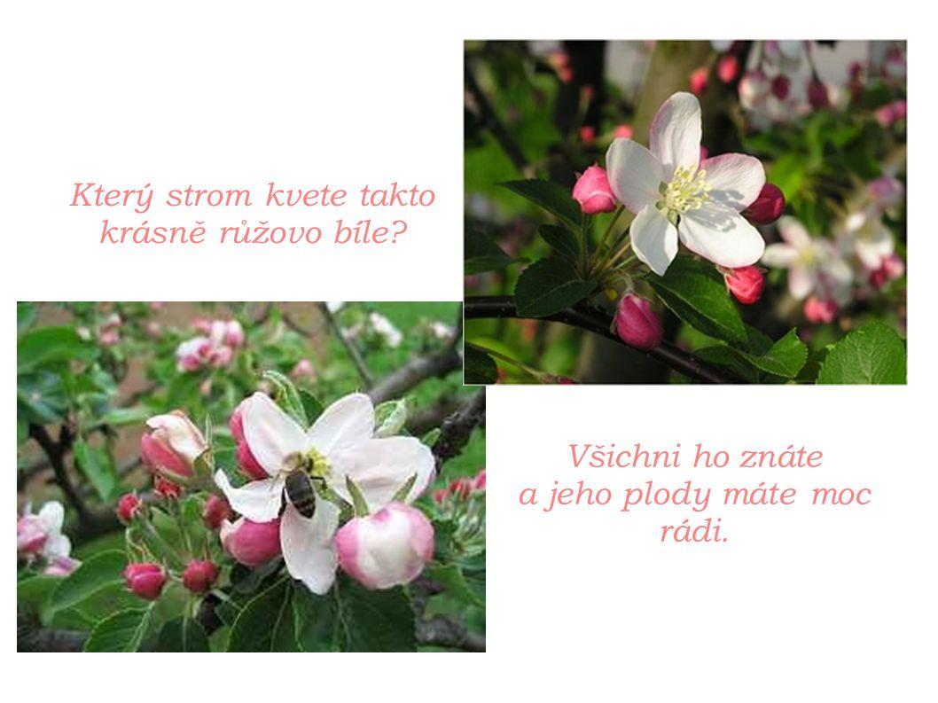 Který strom kvete takto krásně růžovo bíle? Všichni ho znáte a jeho plody máte moc rádi.