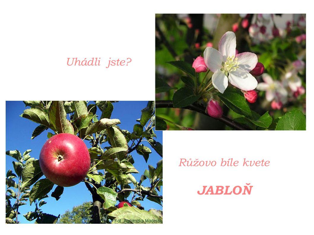 Uhádli jste? Růžovo bíle kvete JABLOŇ