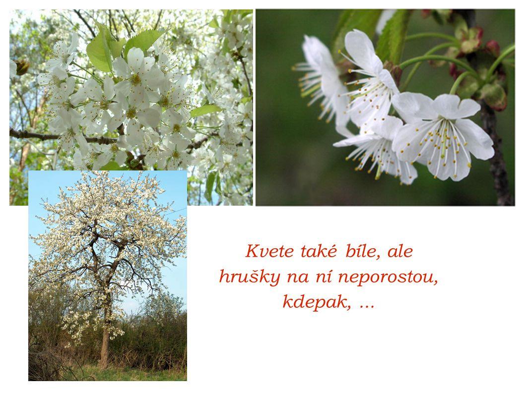 Kvete také bíle, ale hrušky na ní neporostou, kdepak,...