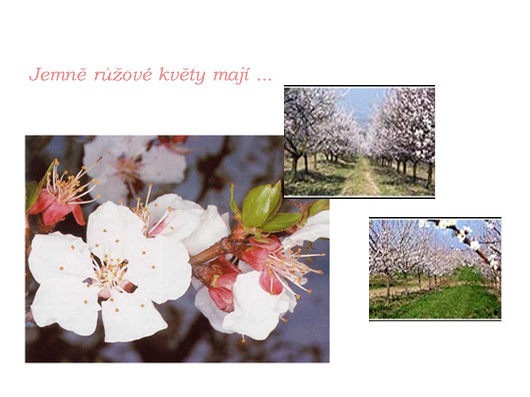 Jemně růžové květy mají...