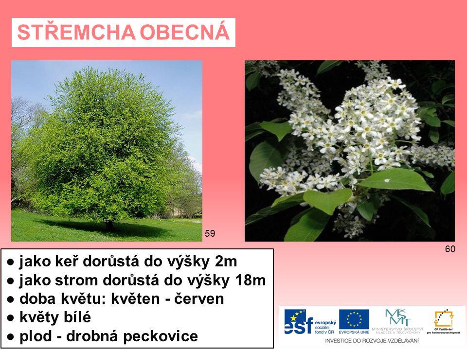 STŘEMCHA OBECNÁ ● jako keř dorůstá do výšky 2m ● jako strom dorůstá do výšky 18m ● doba květu: květen - červen ● květy bílé ● plod - drobná peckovice